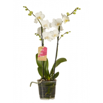 Phalaenopsis Orchidee Multiflora Wit