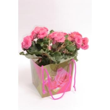 Begonia roze in bloemen tasje
