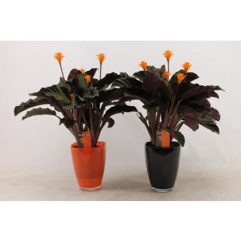 Calathea Crocata Tassmania in zwarte glas pot