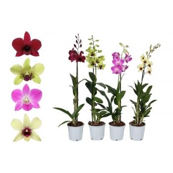 Orchidee Dendrobium 1 tak in witte teeltpot