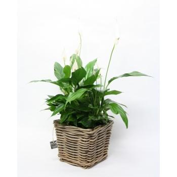 Spathiphyllum in vierkante rieten mand