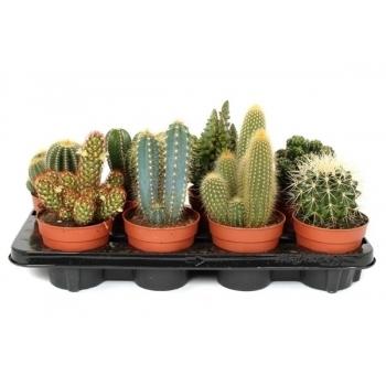 Cactus mix met een potmaat van 12 cm in een veiling tray