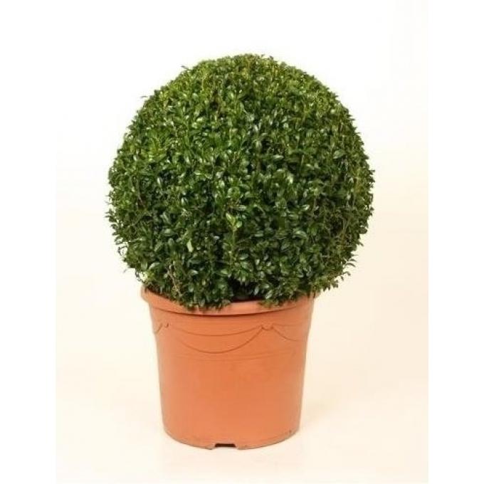 Buxus bol met een diameter van 40 cm