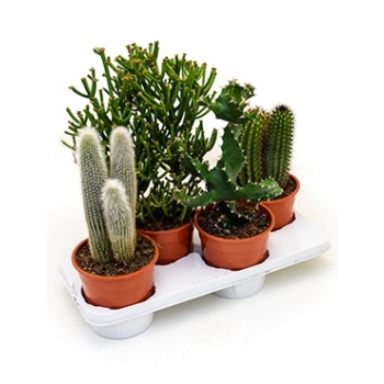 Cactus pot 17 cm gemengd in een veiling tray