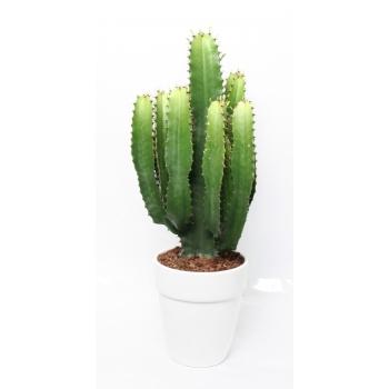 Euphorbia acruensis in een keramieke pot