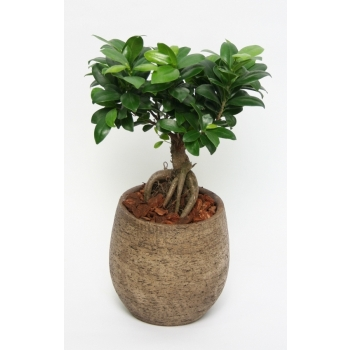 Ficus Microcarpa Ginseng in taupe kleurig keramiek