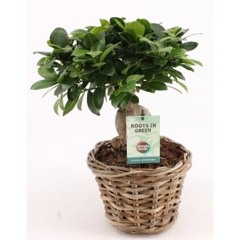 Ficus Microcarpa Ginseng in een rotan mand