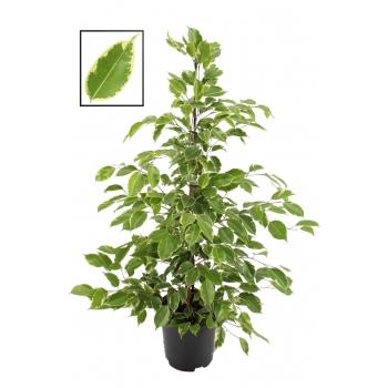 Ficus Benjamina bont in de teeltpot