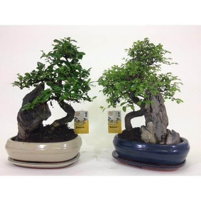 Bonsai in keramieke schaal