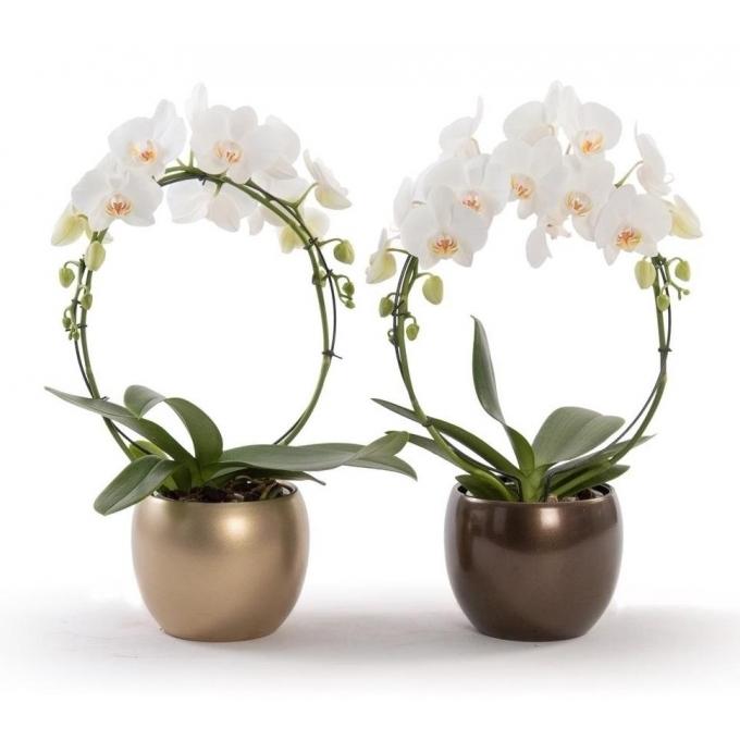Phalaenopsis boog wit in keramieke bolpot