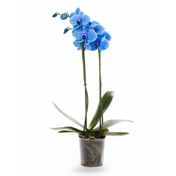 Phalaenopsis Orchidee blauw 2 takken