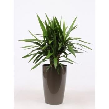 Yucca in een kunststof pot