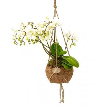 Phalaenopsis wild orchid in een cocosnoot schaal (hangpot)