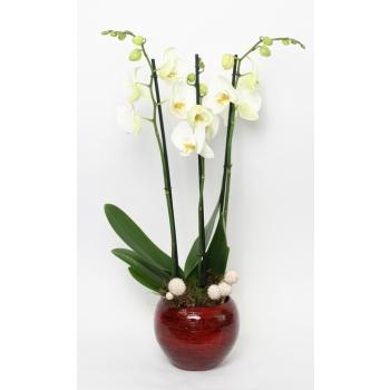 Phalaenopsis Orchidee wit 3 takken in keramiek Stan rood