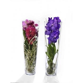 Orchidee Vanda in Lisanne glas