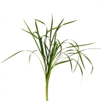 Bos Lily grass
