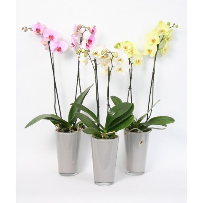 Phalaenopsis Orchidee 2 takken in een hoge taupe glaspot