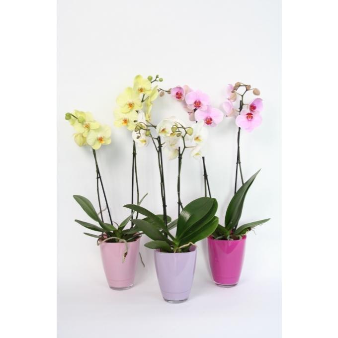 Phalaenopsis Orchidee 2 takken in een gekleurde glaspot