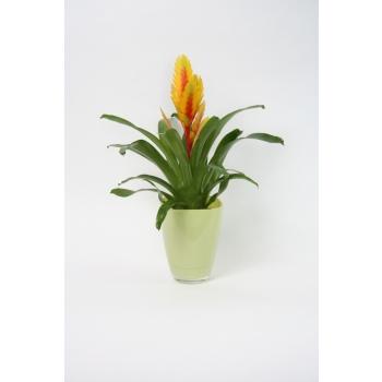 Vriesea in een anijs kleurige glaspot
