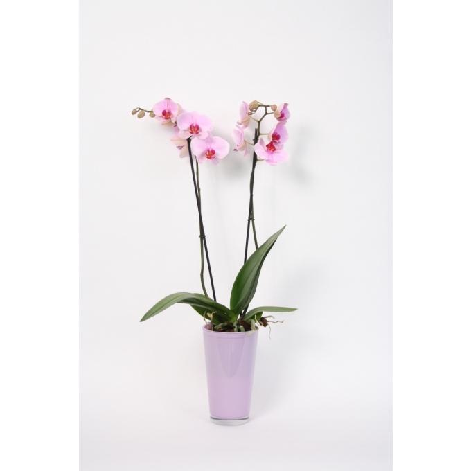 Phalaenopsis Orchidee 2 takken in een hoge lavendel glaspot