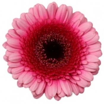 20 Germini's in roze tinten