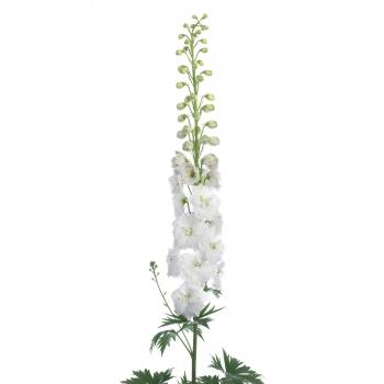 10 Delphinium dubbel bloemig