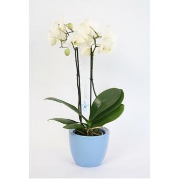 Phalaenopsis Orchidee 2 takken Baby Girl en Baby Boy