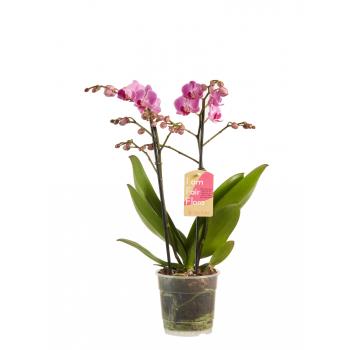 Phalaenopsis orchidee Multiflora Paars