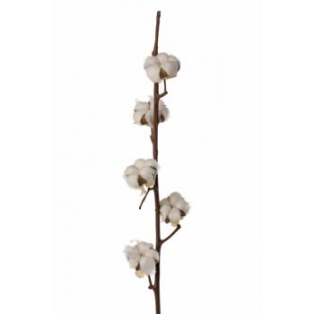 Katoentakken (Gossypium) met 7 bollen per tak