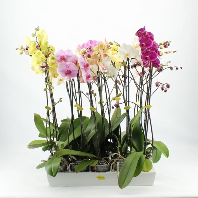 Phalaenopsis Orchidee 2 takken in de teeltpot per 10 planten