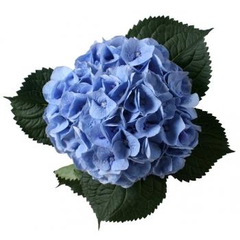 5 Hortensia bloemen lang