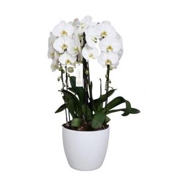 Phalaenopsis Orchidee Grandiflora Tsarine Crown
