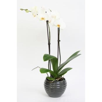 Phalaenopsis Orchidee 2 takken in keramiek Move donker grijs