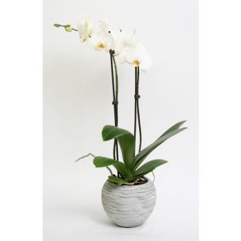 Phalaenopsis Orchidee 2 takken in keramiek Sudan grijs