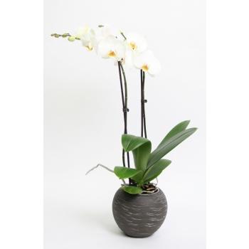 Phalaenopsis Orchidee 2 takken in keramiek Sudan donkergrijs