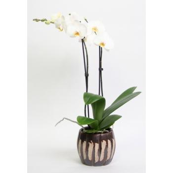 Phalaenopsis Orchidee 2 takken in keramiek Jurre bruin