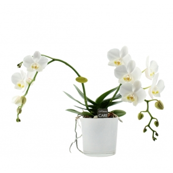 Phalaenopsis Wild Orchid wit in een witte ronde glaspot