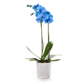 Phalaenopsis Orchidee blauw 2 takken in een witte glaspot