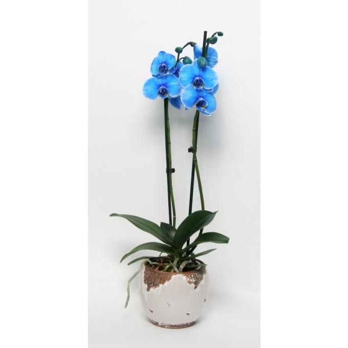 Phalaenopsis 2 takken geverfd blauw in keramiek Old Look