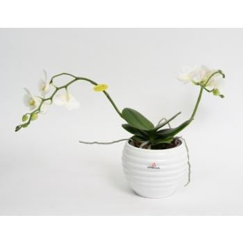 Phalaenopsis Wild Orchid wit in een witte keramieke Move pot