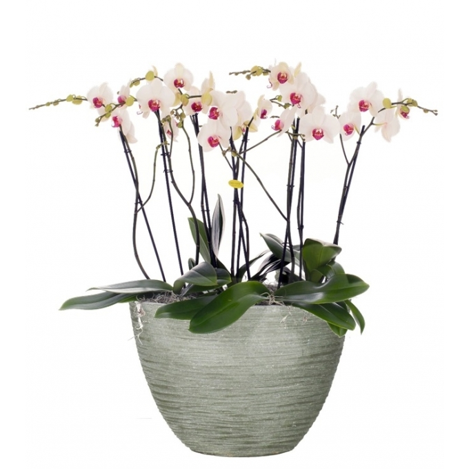 Phalaenopsis arrangement in keramiek Dick kras grijs