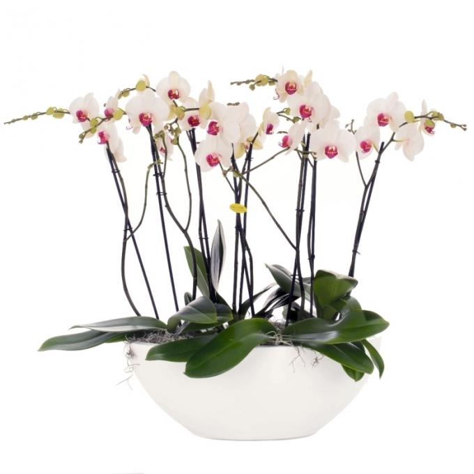 Phalaenopsis arrangement wit in schaal Glossy ovaal