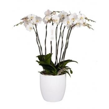 Phalaenopsis Orchidee Grandiflora Tsarine Grand Deco