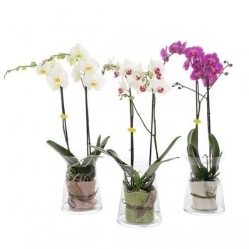 Phalaenopsis Orchidee in zandloper glas met vilt doek