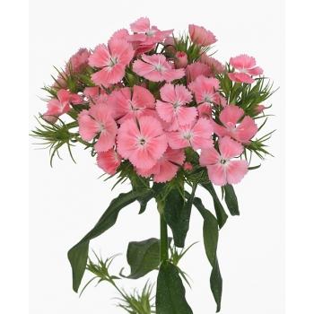25 Duizendschoon (Dianthus Barbatus)