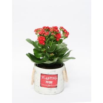 Kalanchoë in keramieke pot Planting rood
