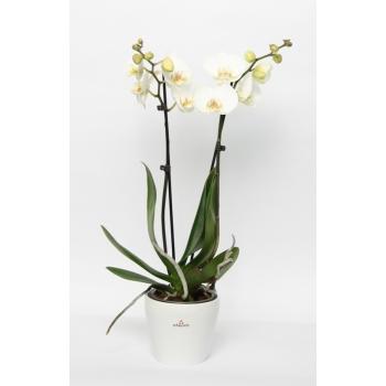 Phalaenopsis Orchidee 2 takken in keramiek Tulipa wit