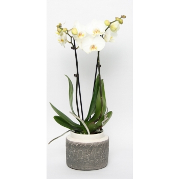 Phalaenopsis Orchidee 2 takken in keramiek Durban wit