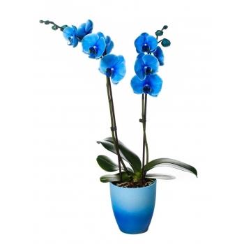 Phalaenopsis Orchidee blauw 2 takken in keramiek Change