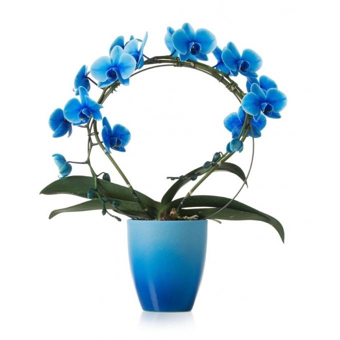 Phalaenopsis Orchidee blauw boog in keramiek Change blauw